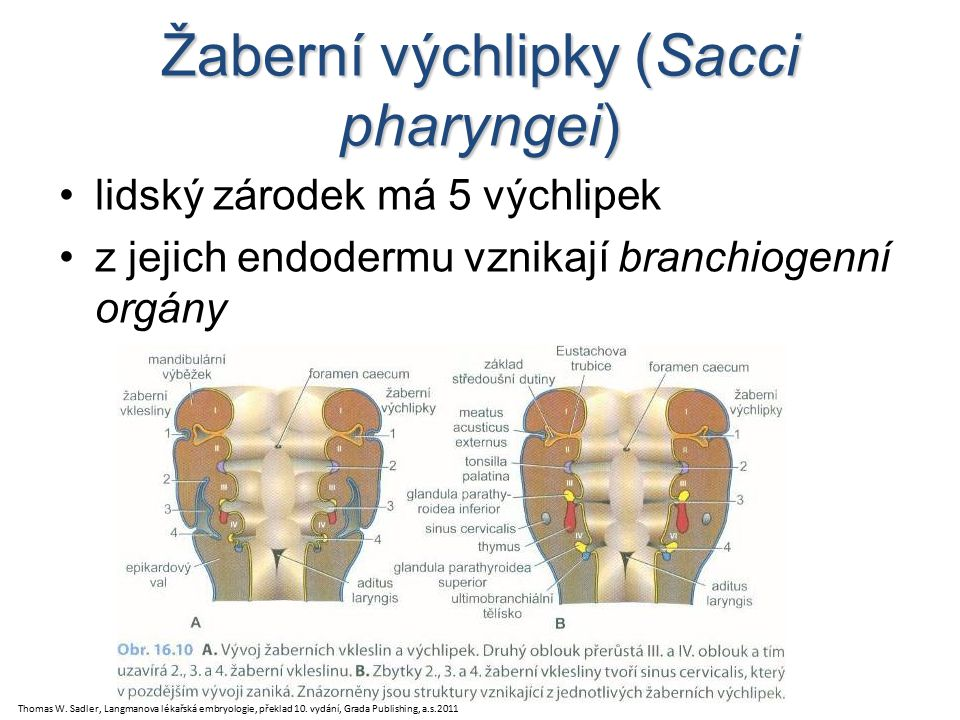 Žaberní výchlipky (Sacci pharyngei)