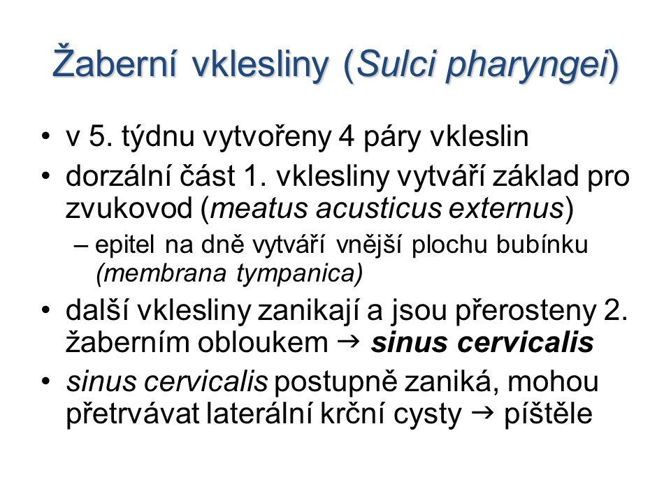 Žaberní vklesliny (Sulci pharyngei)