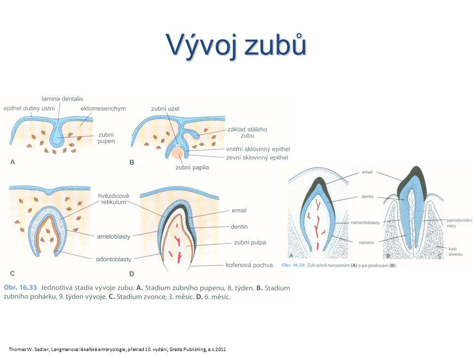 Vývoj zubů Thomas W. Sadler, Langmanova lékařská embryologie, překlad 10.