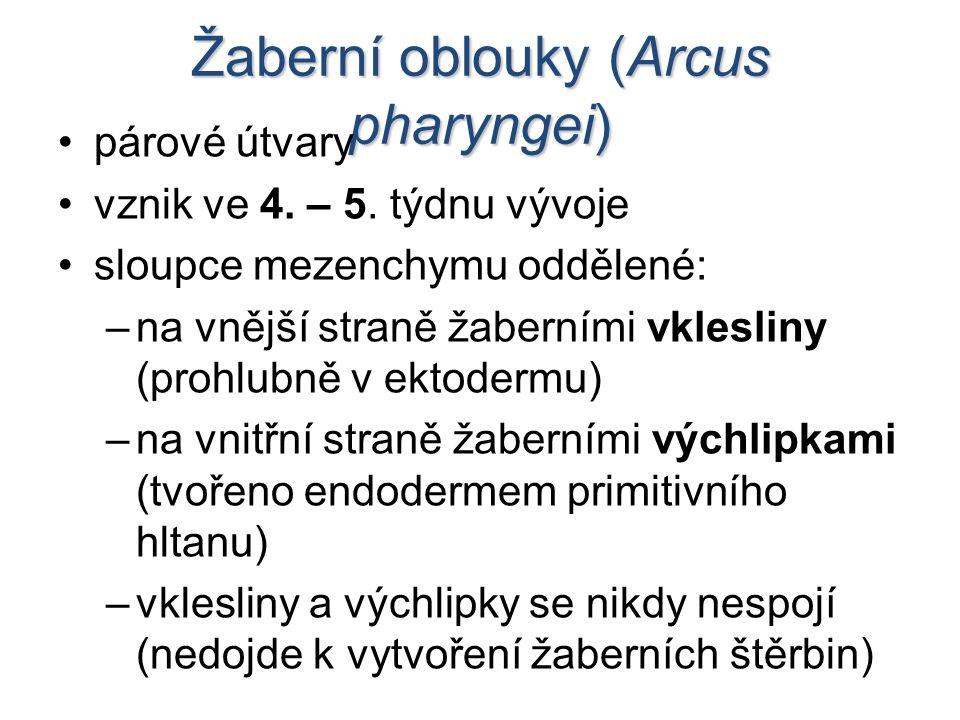 Žaberní oblouky (Arcus pharyngei)