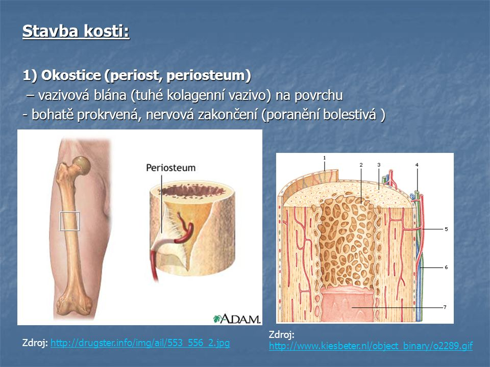 Stavba kosti: 1) Okostice (periost, periosteum)