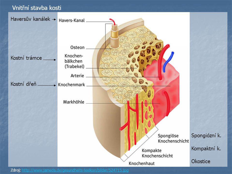 Vnitřní stavba kosti Haversův kanálek Kostní trámce Kostní dřeň