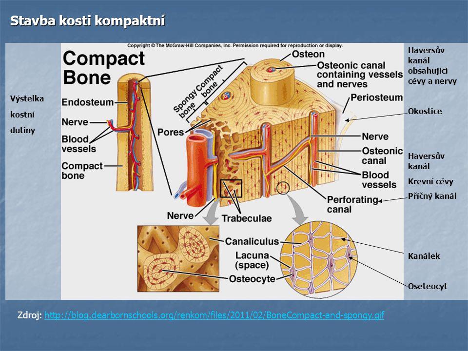 Stavba kosti kompaktní