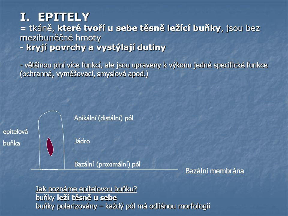 I. EPITELY = tkáně, které tvoří u sebe těsně ležící buňky, jsou bez mezibuněčné hmoty. - kryjí povrchy a vystýlají dutiny.