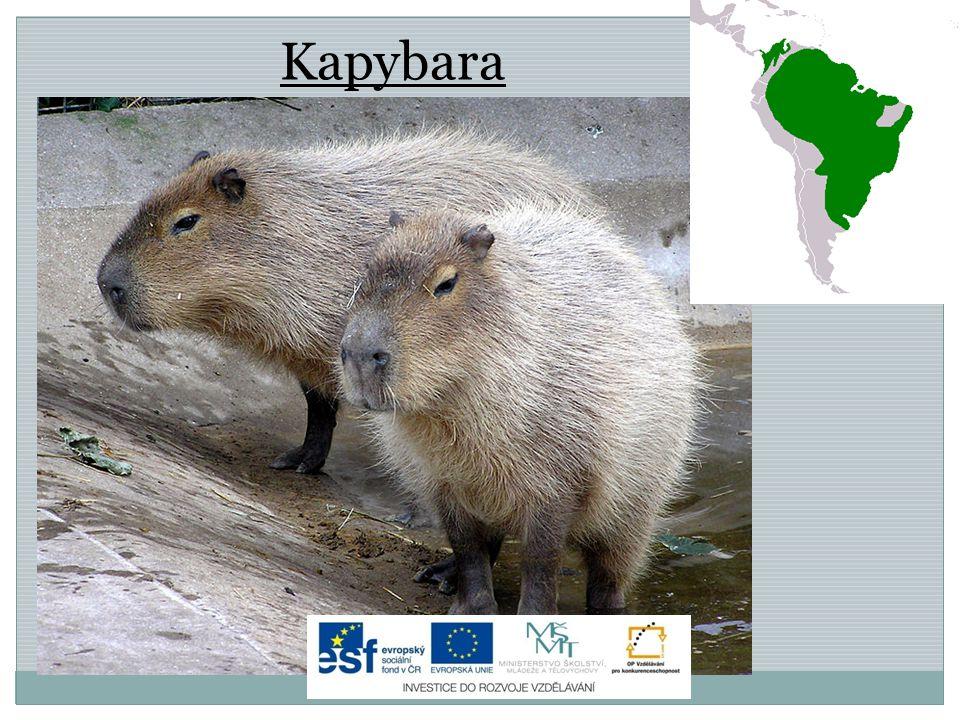 Kapybara