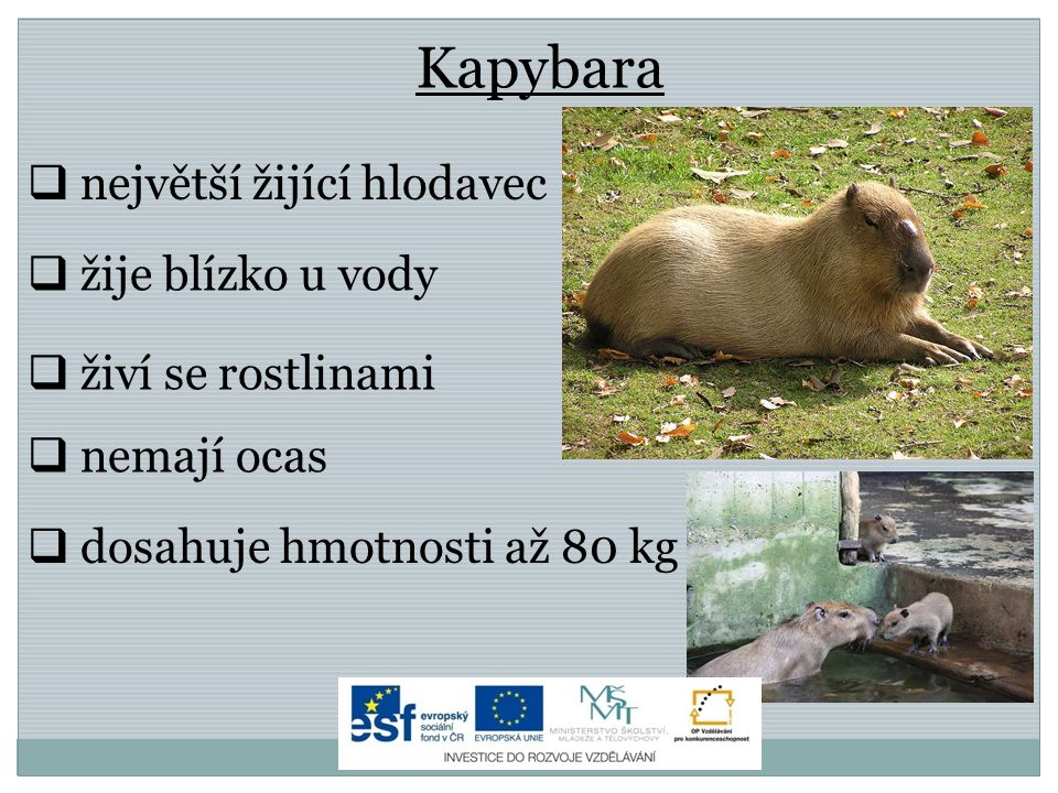 Kapybara největší žijící hlodavec žije blízko u vody