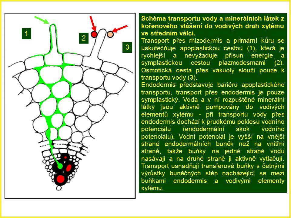 Schéma transportu vody a minerálních látek z kořenového vlášení do vodivých drah xylému ve středním válci.