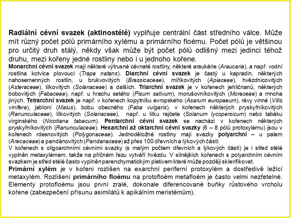 Radiální cévní svazek (aktinostélé) vyplňuje centrální část středního válce. Může mít různý počet pólů primárního xylému a primárního floému. Počet pólů je většinou pro určitý druh stálý, někdy však může být počet pólů odlišný mezi jedinci téhož druhu, mezi kořeny jedné rostliny nebo i u jednoho kořene.