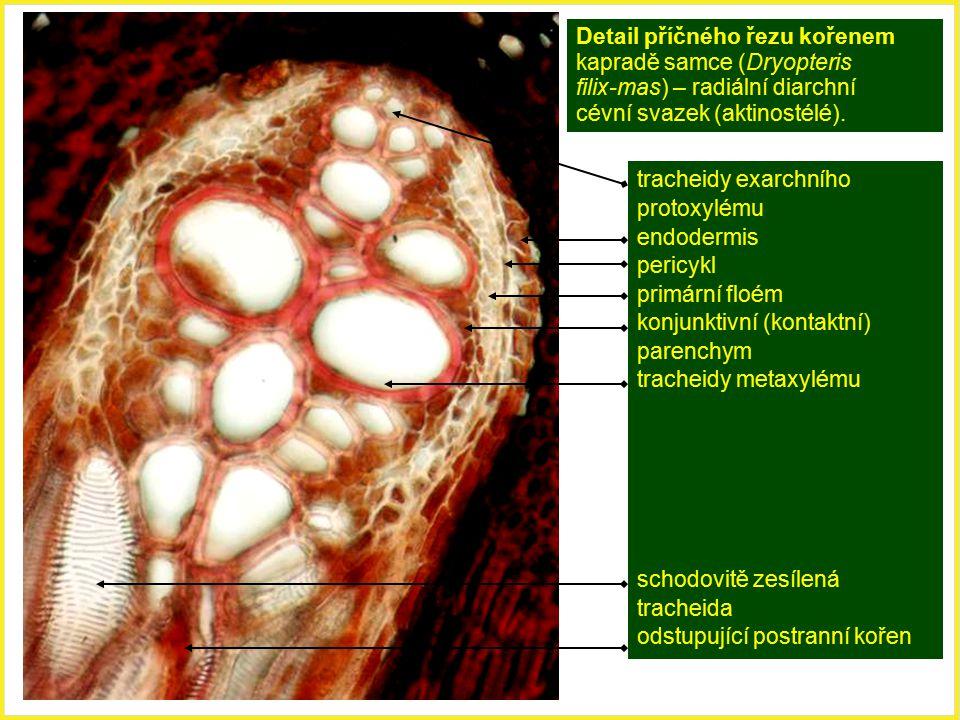 Detail příčného řezu kořenem kapradě samce (Dryopteris