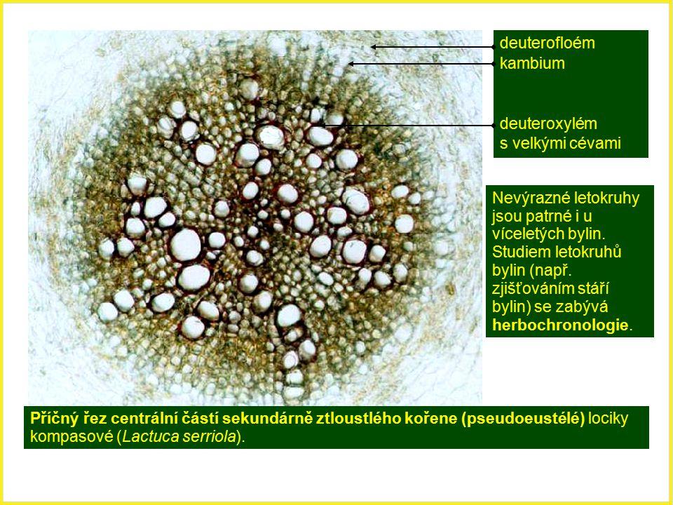 deuterofloém kambium deuteroxylém s velkými cévami