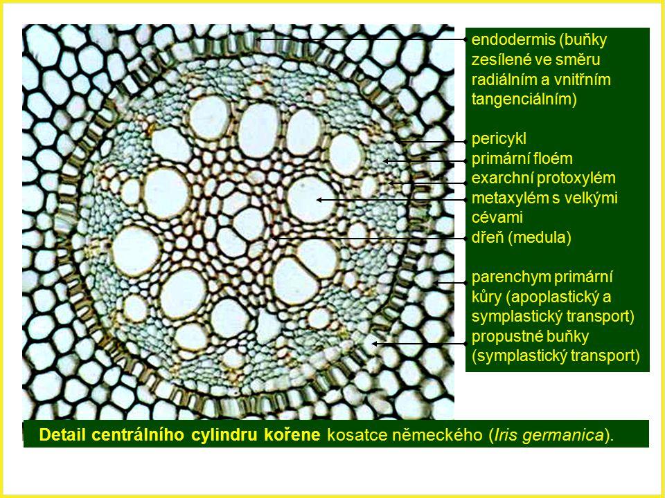 symplastický transport) propustné buňky (symplastický transport)