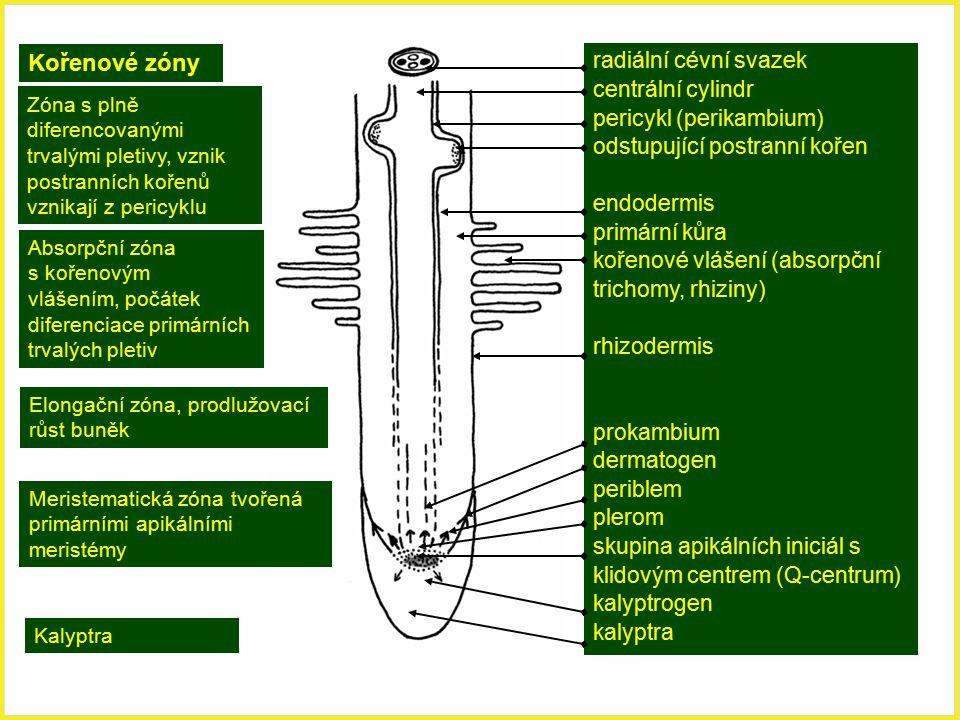 Kořenové zóny radiální cévní svazek centrální cylindr