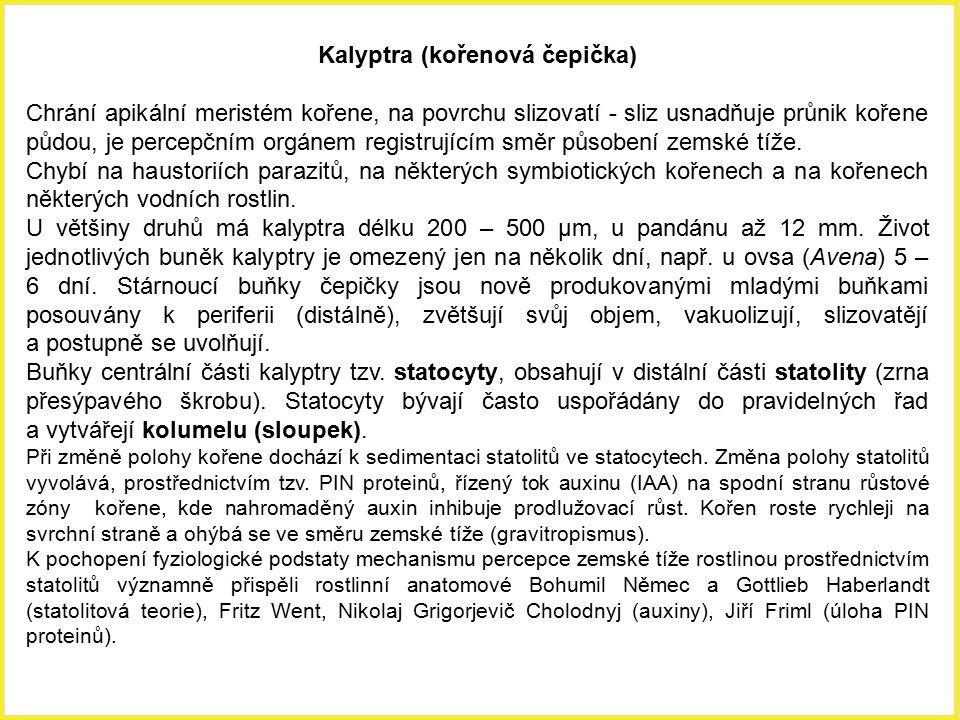 Kalyptra (kořenová čepička)