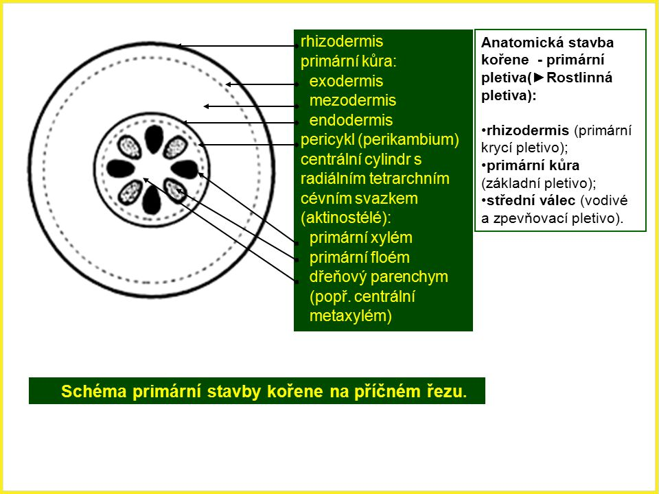 pericykl (perikambium) centrální cylindr s radiálním tetrarchním