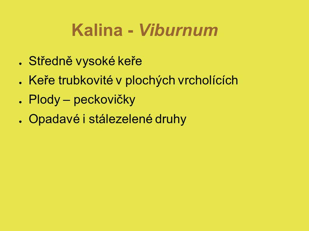 Kalina - Viburnum Středně vysoké keře
