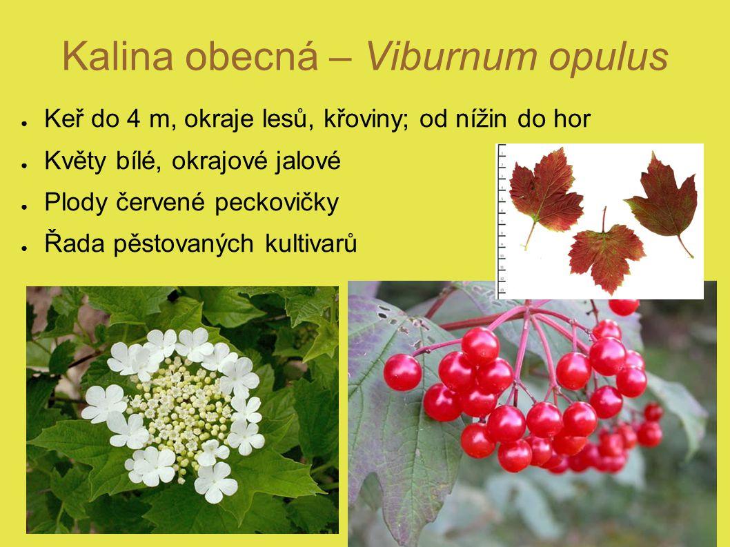 Kalina obecná – Viburnum opulus