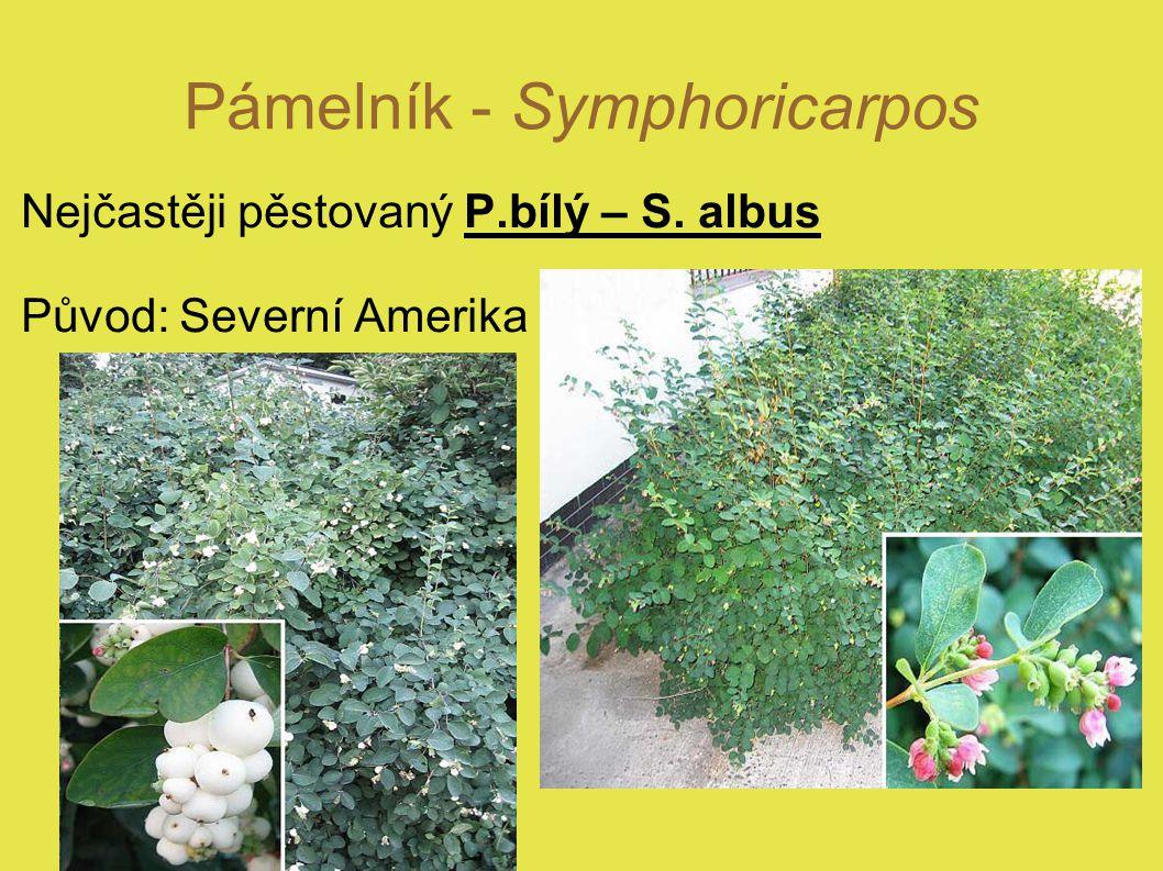 Pámelník - Symphoricarpos