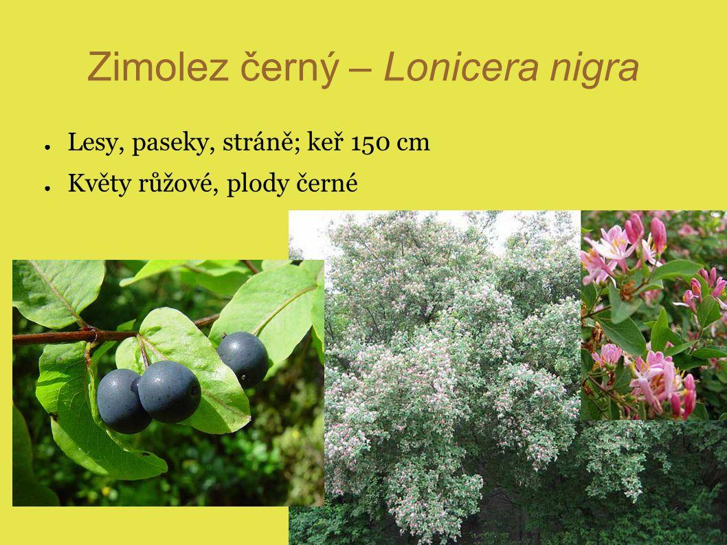 Zimolez černý – Lonicera nigra