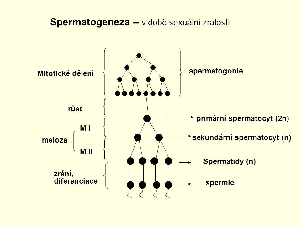 Spermatogeneza – v době sexuální zralosti