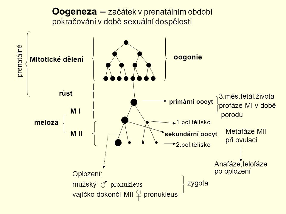 Oogeneza – začátek v prenatálním období