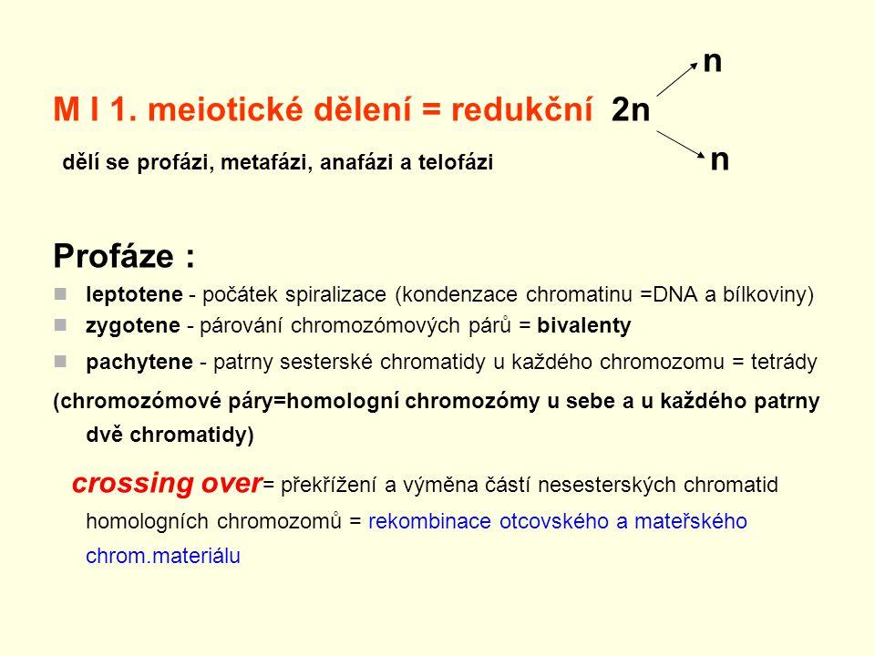 M I 1. meiotické dělení = redukční 2n