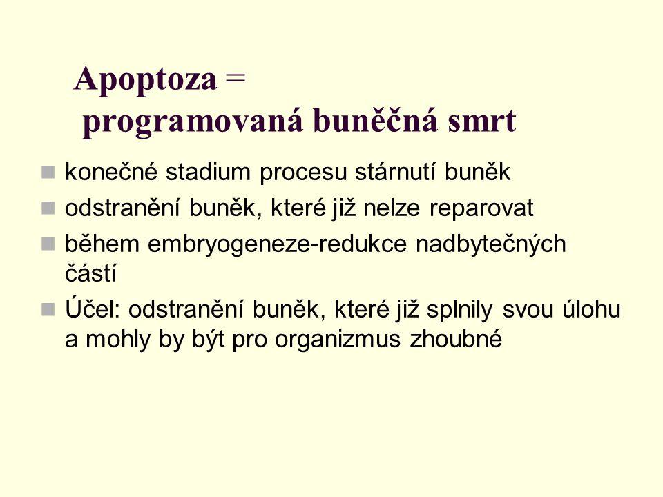 Apoptoza = programovaná buněčná smrt
