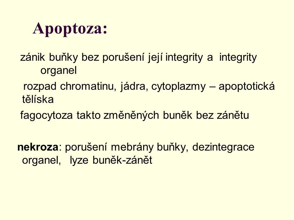 Apoptoza: zánik buňky bez porušení její integrity a integrity organel