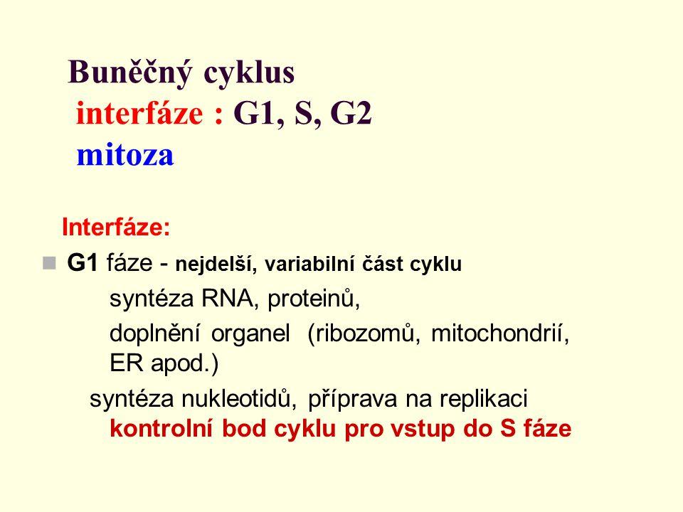 Buněčný cyklus interfáze : G1, S, G2 mitoza
