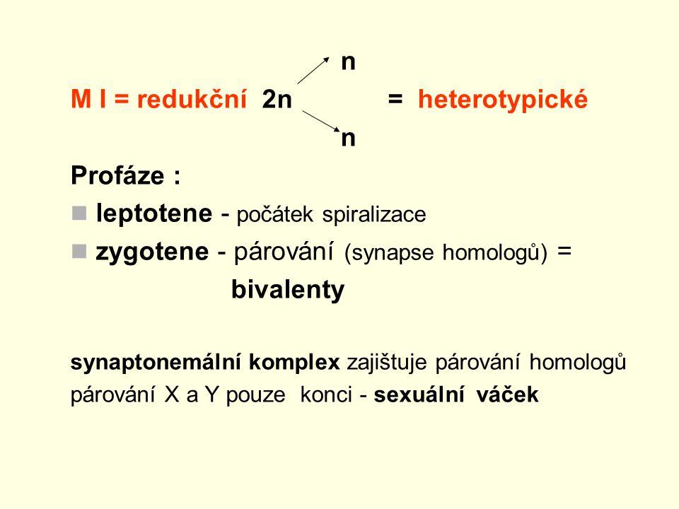 M I = redukční 2n = heterotypické Profáze :
