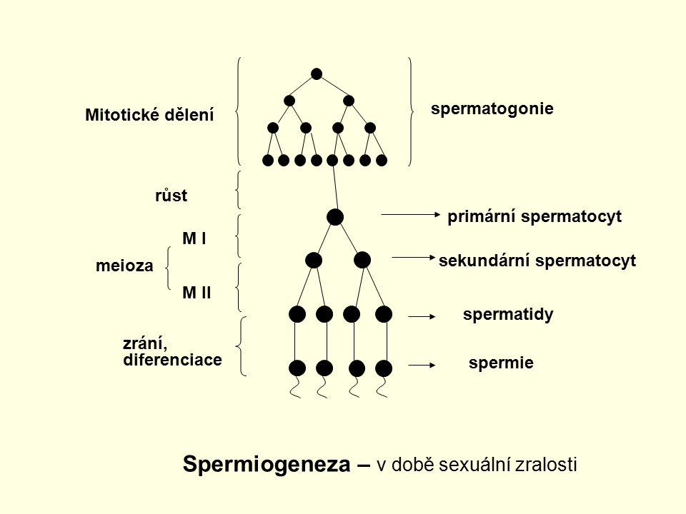 Spermiogeneza – v době sexuální zralosti