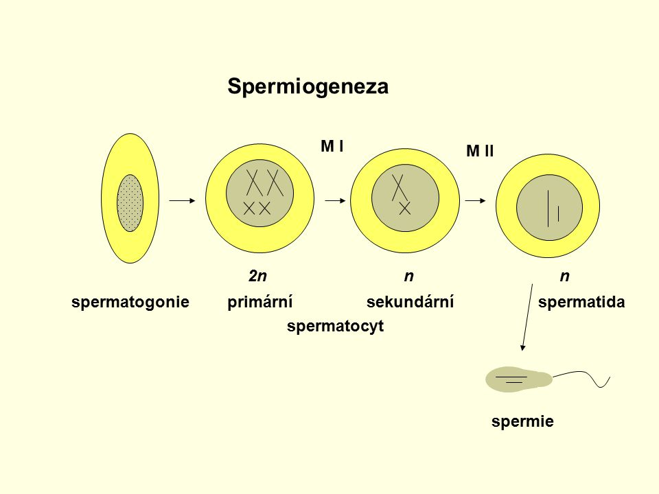 Spermiogeneza M I M II 2n n n spermatogonie spermatida