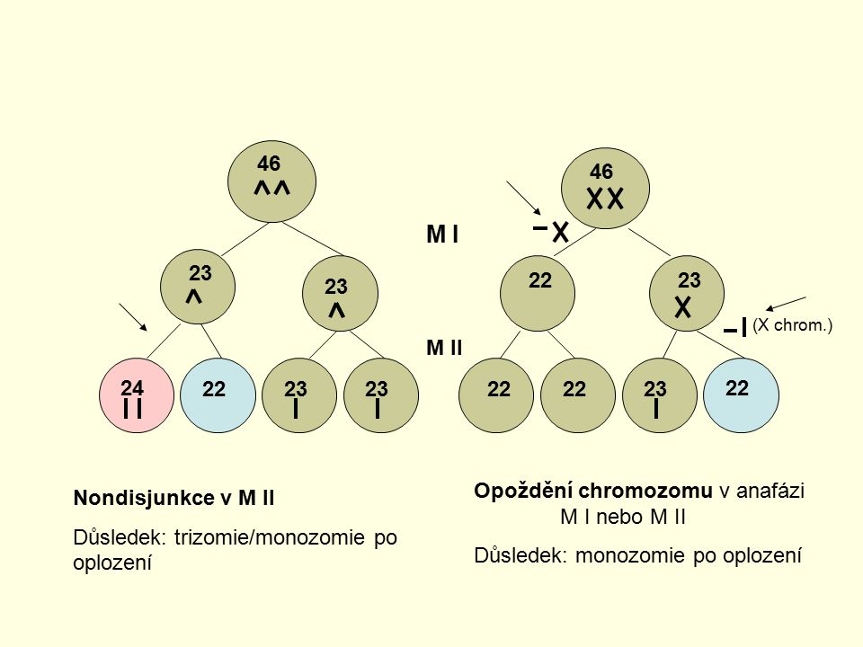 46 46. M I. 23. 22. 23. 23. (X chrom.) M II. 24. 22. 23. 23. 22. 22. 23. 22. Opoždění chromozomu v anafázi M I nebo M II.
