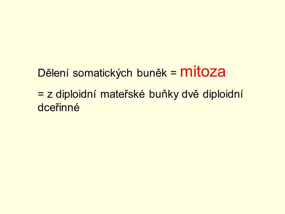 Dělení somatických buněk = mitoza