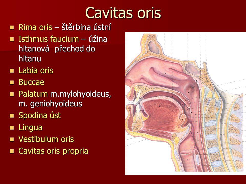 Cavitas oris Rima oris – štěrbina ústní
