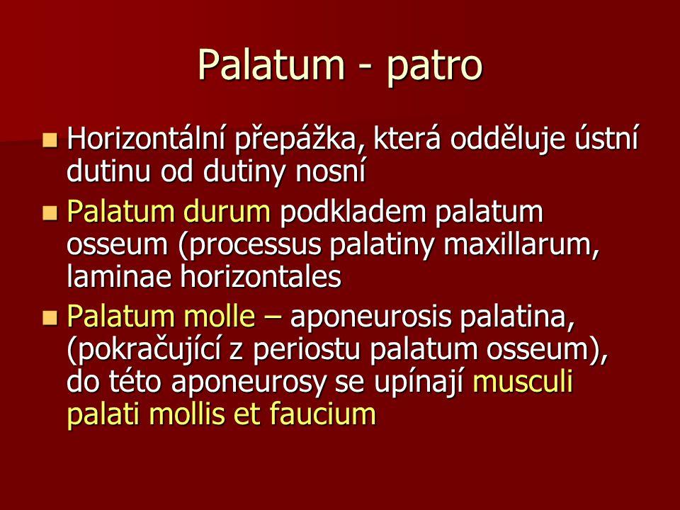 Palatum - patro Horizontální přepážka, která odděluje ústní dutinu od dutiny nosní.