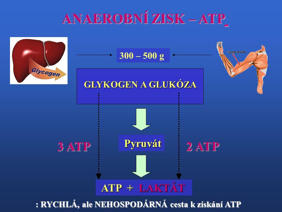 ANAEROBNÍ ZISK – ATP 3 ATP 2 ATP 300 – 500 g GLYKOGEN A GLUKÓZA