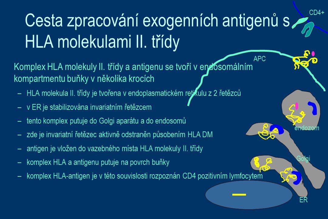 Cesta zpracování exogenních antigenů s HLA molekulami II. třídy