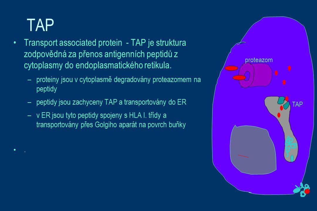TAP Transport associated protein - TAP je struktura zodpovědná za přenos antigenních peptidů z cytoplasmy do endoplasmatického retikula.