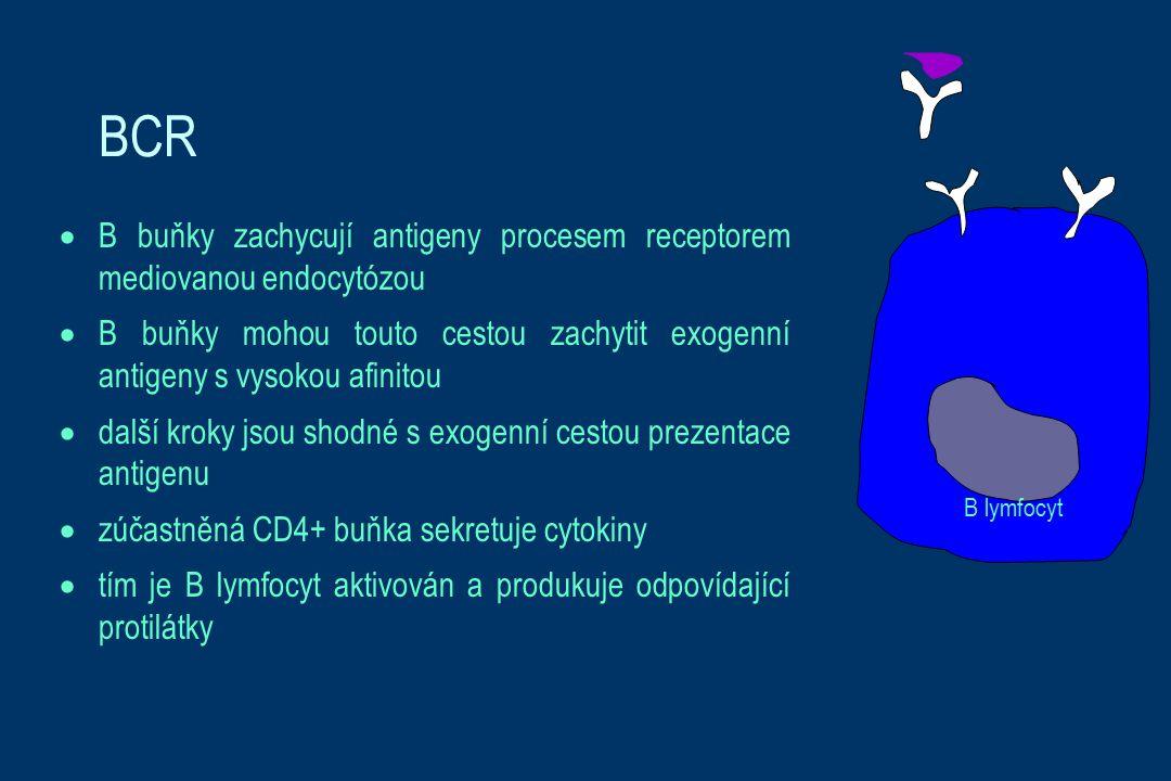 B lymfocyt BCR. B buňky zachycují antigeny procesem receptorem mediovanou endocytózou.