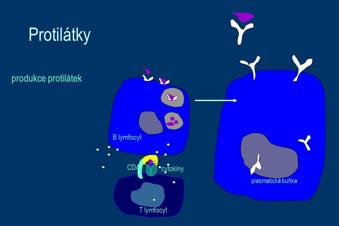 Protilátky produkce protilátek B lymfocyt CD4 cytokiny T lymfocyt