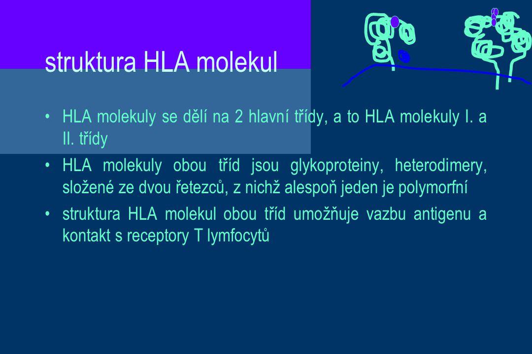 struktura HLA molekul HLA molekuly se dělí na 2 hlavní třídy, a to HLA molekuly I. a II. třídy.