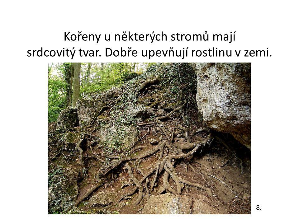 Kořeny u některých stromů mají srdcovitý tvar