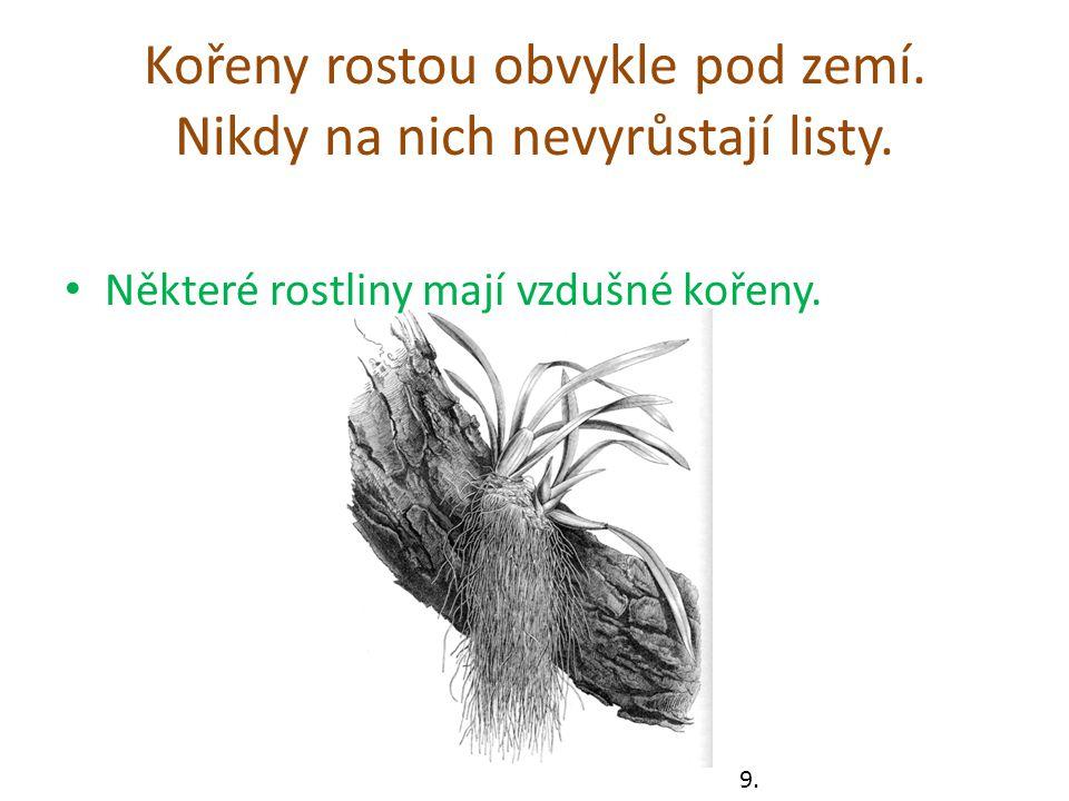 Kořeny rostou obvykle pod zemí. Nikdy na nich nevyrůstají listy.