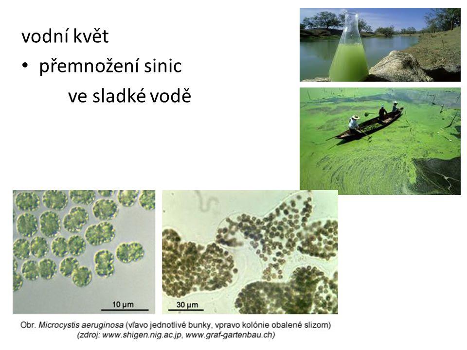 vodní květ přemnožení sinic ve sladké vodě