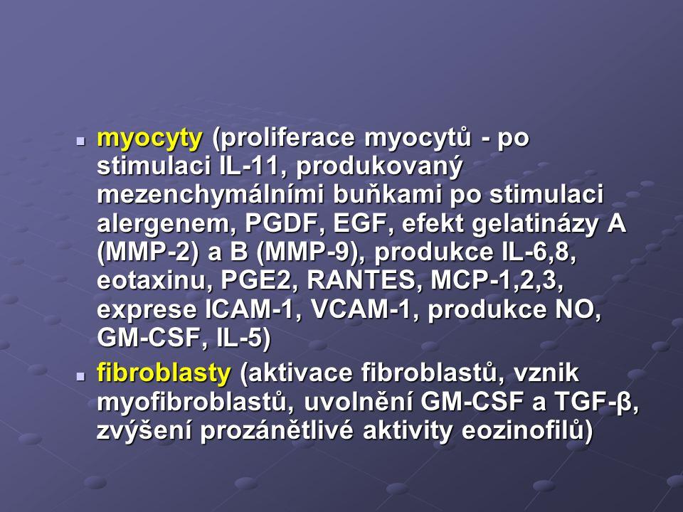 myocyty (proliferace myocytů - po stimulaci IL-11, produkovaný mezenchymálními buňkami po stimulaci alergenem, PGDF, EGF, efekt gelatinázy A (MMP-2) a B (MMP-9), produkce IL-6,8, eotaxinu, PGE2, RANTES, MCP-1,2,3, exprese ICAM-1, VCAM-1, produkce NO, GM-CSF, IL-5)