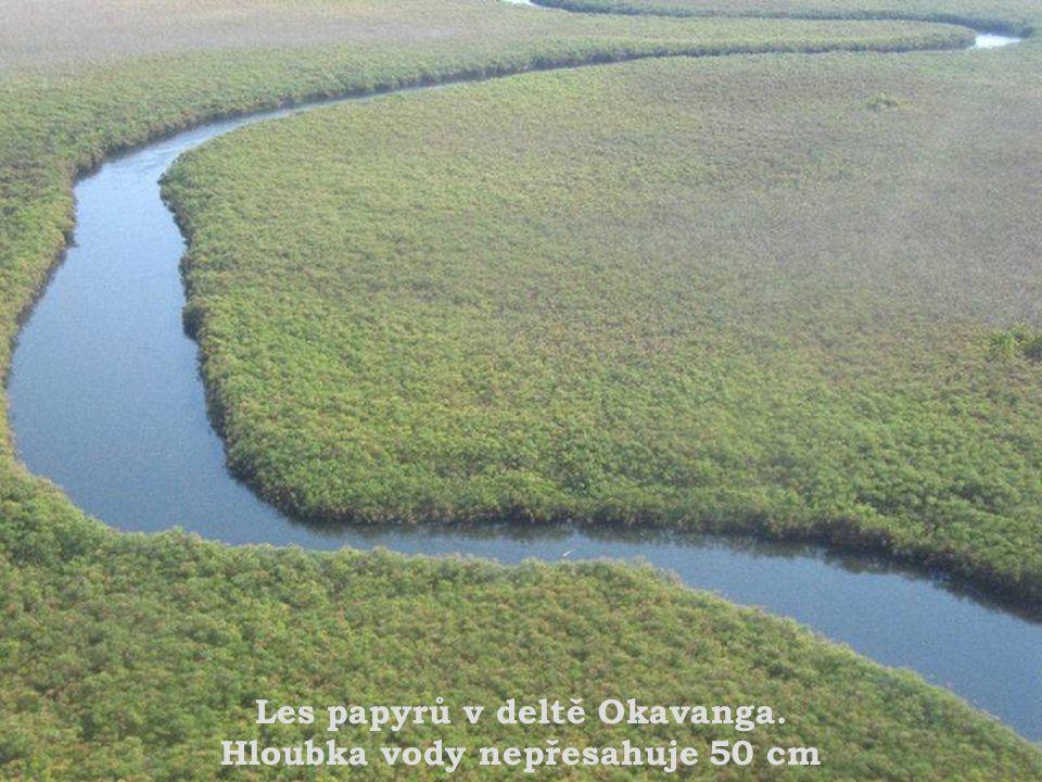Les papyrů v deltě Okavanga. Hloubka vody nepřesahuje 50 cm