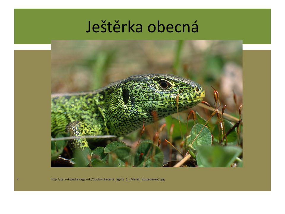 Ještěrka obecná http://cs.wikipedia.org/wiki/Soubor:Lacerta_agilis_1_(Marek_Szczepanek).jpg