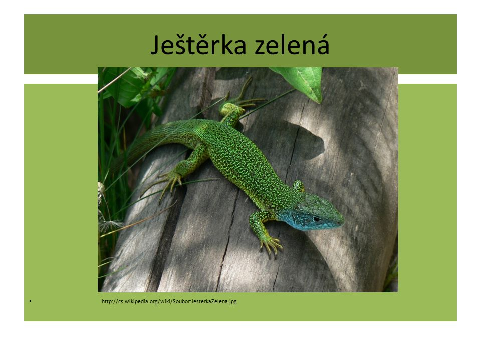 Ještěrka zelená http://cs.wikipedia.org/wiki/Soubor:JesterkaZelena.jpg