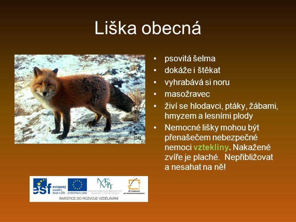 Liška obecná psovitá šelma dokáže i štěkat vyhrabává si noru