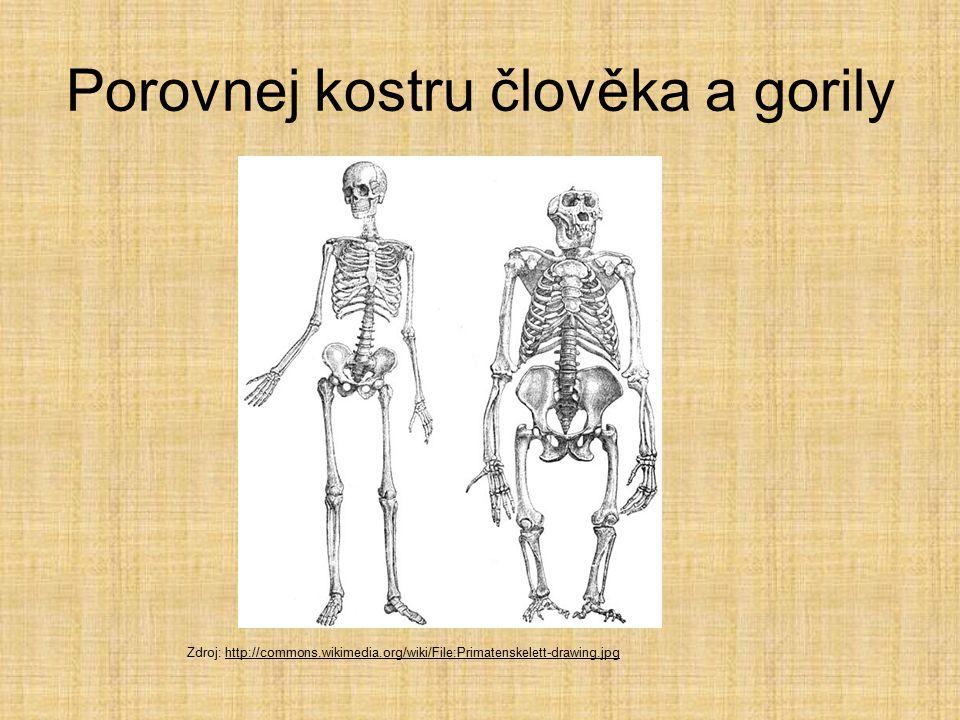 Porovnej kostru člověka a gorily